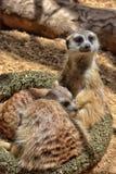 是其他2个的婴孩氏族系列meerkat成员注意 免版税库存照片