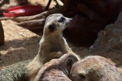 是其他2个的婴孩氏族系列meerkat成员注意 库存图片