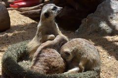 是其他2个的婴孩氏族系列meerkat成员注意 库存照片