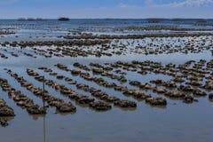 是农厂渔夫收留的牡蛎被出售 图库摄影