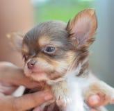 是奇瓦瓦狗手持式小狗 免版税图库摄影