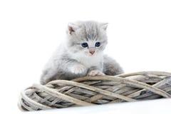 是小的灰色蓬松的小猫好奇和严肃的,当探索围拢和坐与滑稽时的其他一起 库存图片