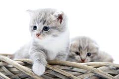 是小的灰色蓬松的小猫好奇和严肃的,当探索围拢和坐与滑稽时的其他一起 图库摄影