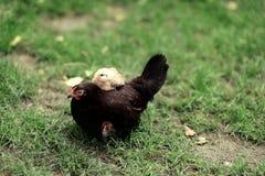 是小鸡另外母鸡一希望的他们 免版税库存照片
