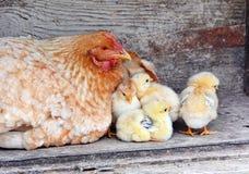 是小鸡另外母鸡一希望的他们 库存图片
