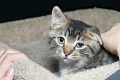 是微小的棕色和棕褐色和白色中等头发的平纹的小猫pe 库存图片