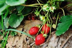 是摘的红色成熟草莓对等待 免版税库存照片