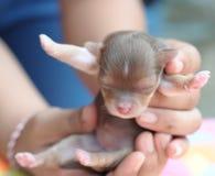 是棕色奇瓦瓦狗手持式新出生微小的 图库摄影