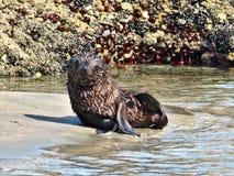 是狂放的海狮幼崽好奇的在我的照相机在Wharariki海滩,新西兰 免版税库存图片