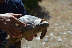 是的乌龟看照相机的举行在Kusadasi,土耳其 库存照片