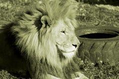 是的动物接近的狮子做公园照片徒步旅行队对非常 免版税库存图片