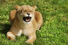 是的动物接近的狮子做公园照片徒步旅行队对非常 免版税库存照片