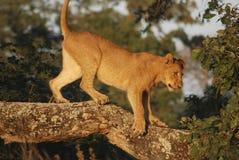 是的动物接近的狮子做公园照片徒步旅行队对非常 库存照片