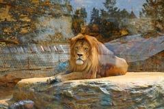是的动物接近的狮子做公园照片徒步旅行队对非常 免版税图库摄影