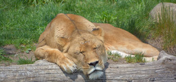 是的动物接近的狮子做公园照片徒步旅行队对非常 图库摄影