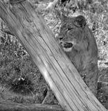 是的动物接近的狮子做公园照片徒步旅行队对非常 库存图片