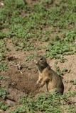 是的地鼠站立在两条腿和非常机敏在surroundin 免版税图库摄影