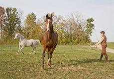 是的活动被培训的马 免版税图库摄影