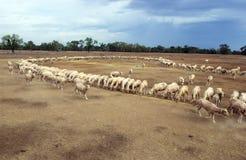 是的绵羊在天旱期间哺养的手 库存图片