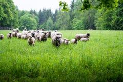 是的背景域群绿色食用小山淡紫色没有一其他修剪的绵羊一些 免版税库存照片