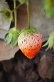 是腐烂的草莓 库存照片