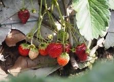 是腐烂的草莓 免版税库存图片
