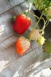 是腐烂的草莓 免版税库存照片