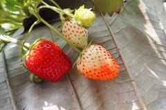 是腐烂的草莓 库存图片