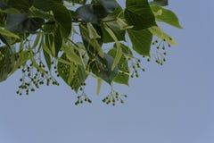 是菩提树的花 免版税图库摄影