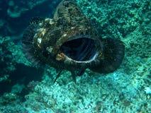 是被清洗的斐济巨人石斑鱼 库存图片