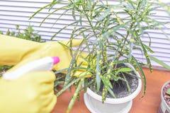 是被灌溉的室内植物 库存照片