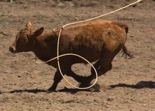 是被系住的小牛 免版税图库摄影
