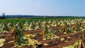 是门诺派中的严紧派的烟草田收获 影视素材