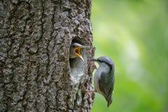 总是饥饿的刚孵出的雏请求从他的父母的食物 成人鸟木五子雀或五子雀类europaea在巢附近在橡木的凹陷 库存图片