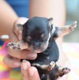 是黑色奇瓦瓦狗手持式新出生微小的 免版税库存照片