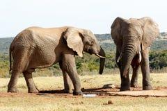 是-非洲人布什大象 免版税库存照片