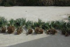 是palmtrees被种植对等待 免版税图库摄影