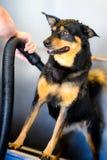 是shampooed的狗 免版税库存照片