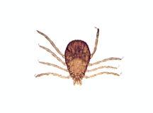 显微镜rhipicephalus sanguineus滴答声 图库摄影