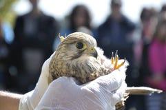 显示一只幼小苍鹰(鹰类gentilis)的兽医 免版税库存照片