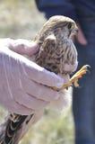 显示一只幼小苍鹰(鹰类gentilis)的兽医 库存照片