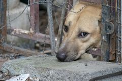 显示不快乐从它的眼睛的哀伤的棕色泰国狗 它在老笼子 库存图片