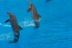 显示与海豚在Loro Parque 免版税库存图片