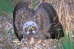 显示侵略的伟大的有角的猫头鹰之子 库存图片