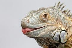 显示在白色的特写镜头绿色鬣鳞蜥舌头 免版税库存照片