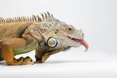 显示在白色的特写镜头绿色鬣鳞蜥舌头 免版税库存图片