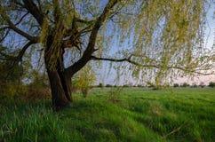 显示在草甸的夏天风景老柳树在黄昏 免版税库存图片