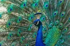显示在蓝色和绿色颜色的孔雀精采全身羽毛 免版税图库摄影
