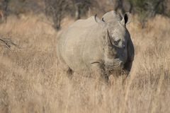 显示垫铁的成人白色犀牛站立在冬天草中 库存照片
