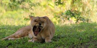 显示她的舌头的雌狮打呵欠 免版税库存图片